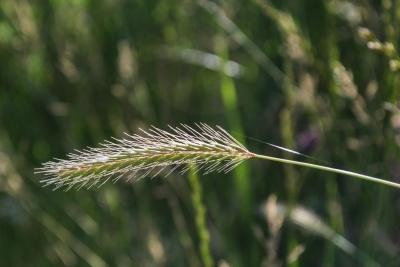 felt, natur, flora, græs, farm, sommer, korn, blad
