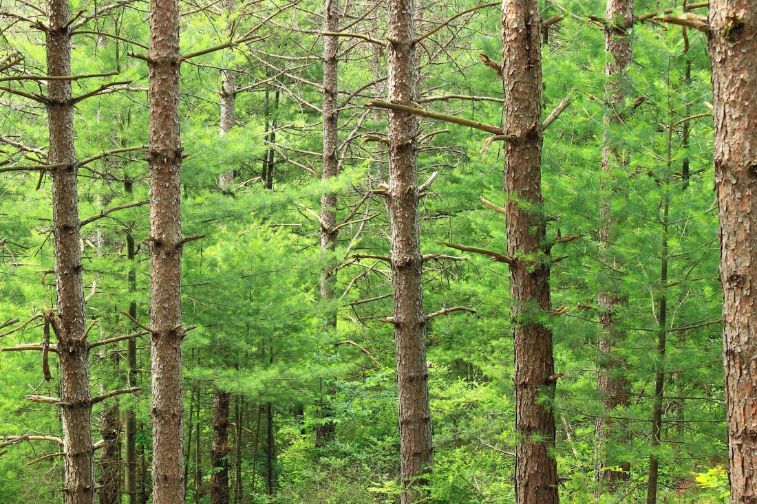 wood, nature, tree, landscape, leaf, environment, conifer, forest