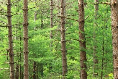 wood, nature, tree, landscape, leaf, environment, conifer, forest