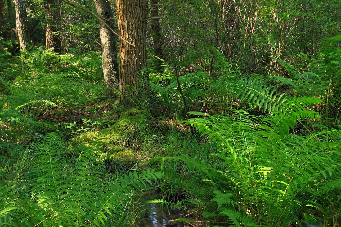 wood, fern, nature, leaf, landscape, environment, tree, fern, flora