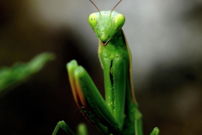 nature, leaf, insect, praying mantis, arthropod, invertebrate, garden, wildlife