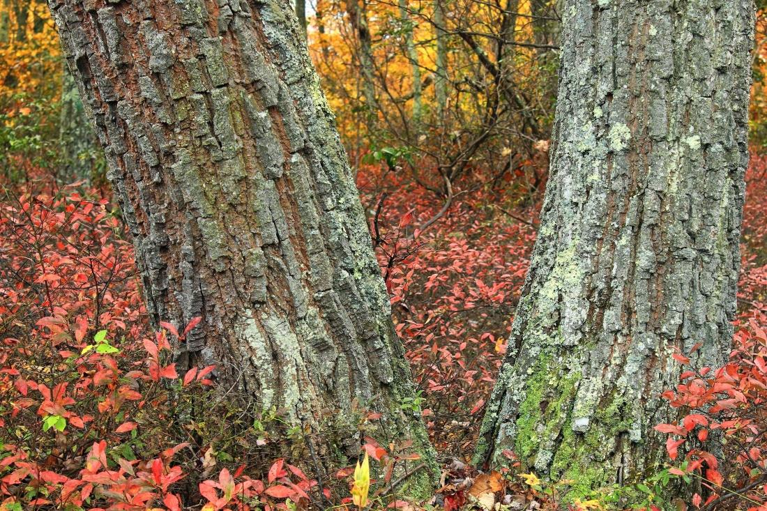 wood, tree, leaf, nature, bark, landscape, forest, oak