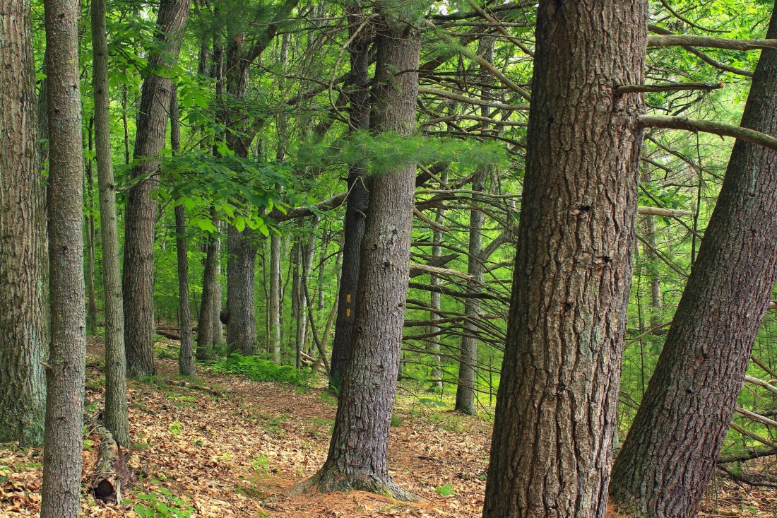 tree, wood, nature, landscape, leaf, conifer, environment, oak, forest