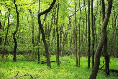 木头, 自然, 风景, 树, 叶子, 环境, 森林, 橡木, 黎明, 夏天