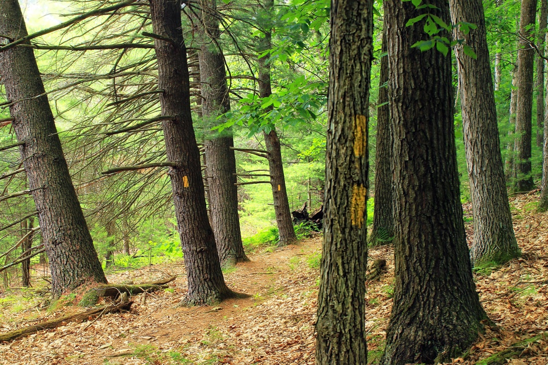 wood, tree, nature, landscape, conifer, pine, leaf, environment, forest
