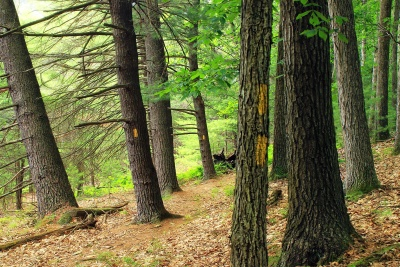 wood, tree, nature, landscape, conifer, pine, leaf, environment, forest