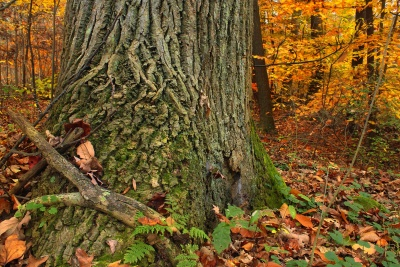 tree, wood, leaf, bark, nature, branch, autumn, environment, landscape, oak, moss