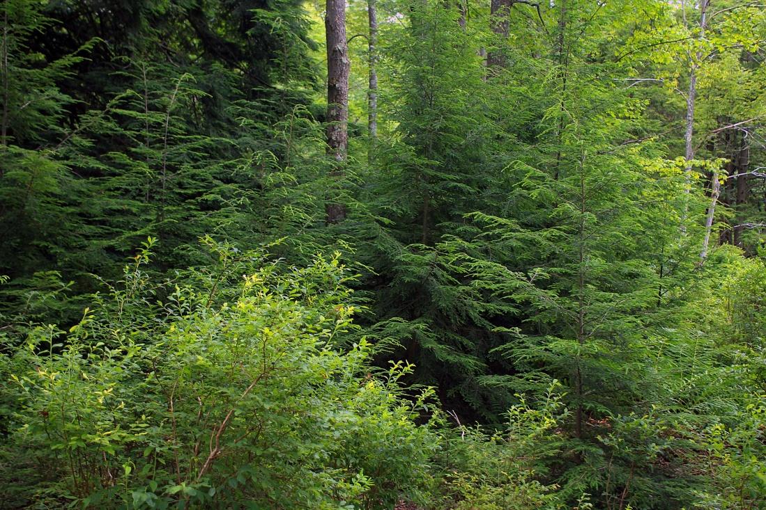 wood, nature, landscape, conifer, moss, fern, grass, leaf, tree, forest