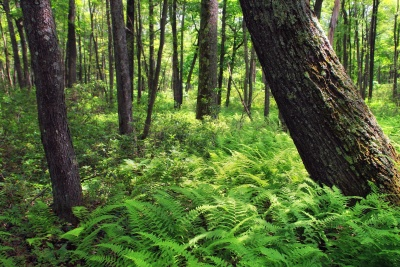 wood, landscape, tree, nature, environment, fern, leaf, forest