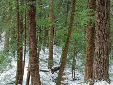 wood, tree, conifer, nature, snow, cold, frost, evergreen, landscape, pine