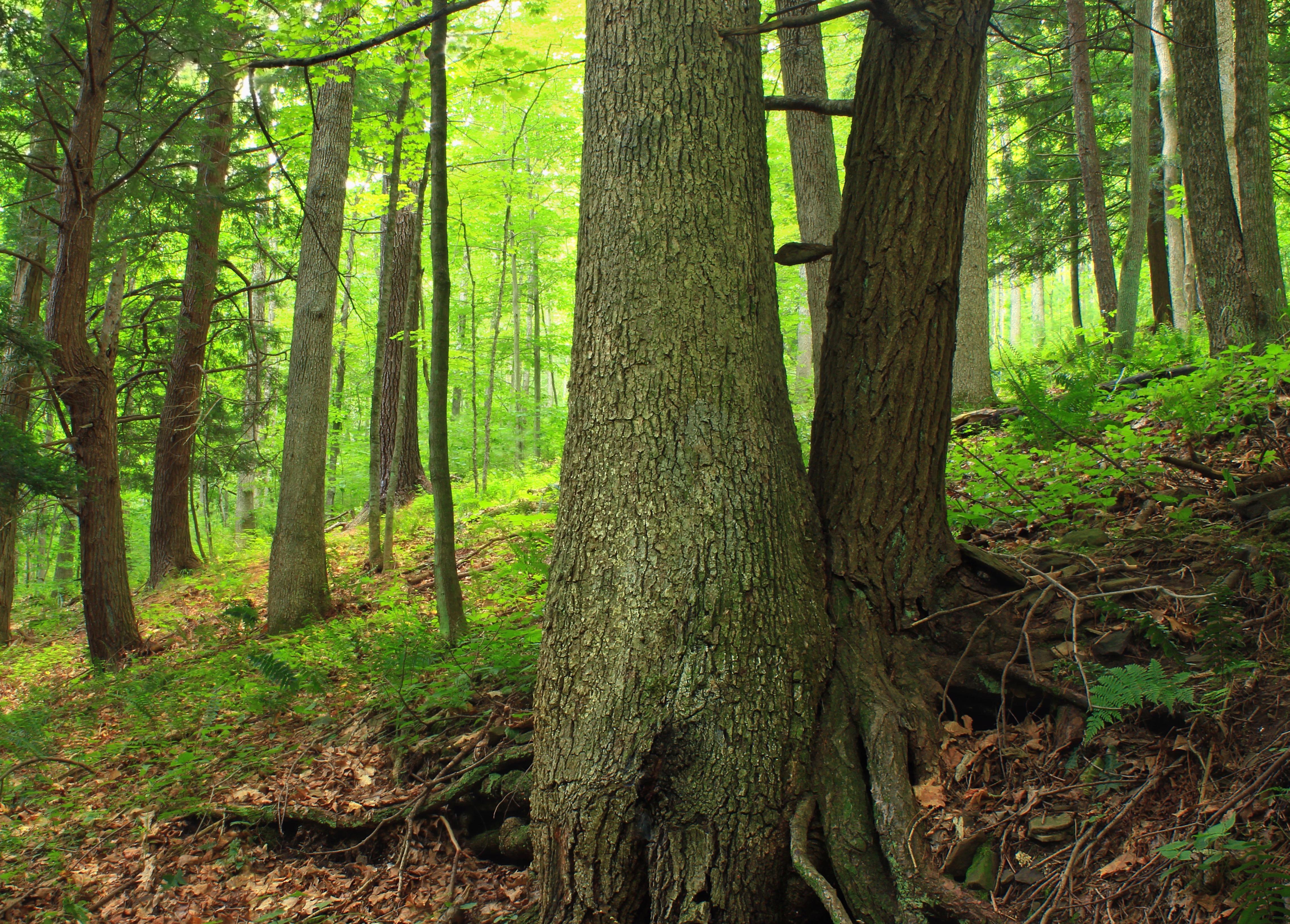 Дуб в лесу картинки