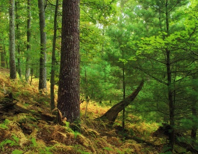 wood, tree, leaf, nature, landscape, fern, moss, dawn, oak, forest