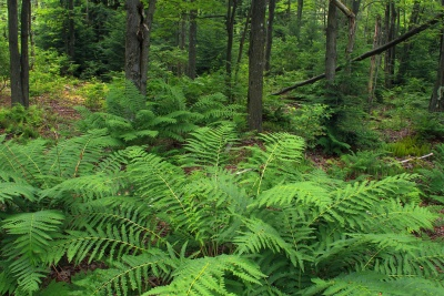 wood, nature, fern, leaf, forest, green, ecology, summer, plant