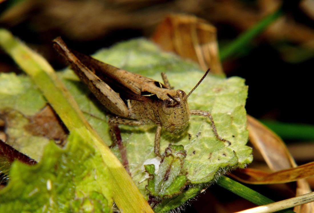 leaf, nature, grasshopper, insect, arthropod, invertebrate