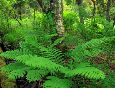 fern, leaf, nature,  forest, leaf, tree, foliage, garden, flora, leaves, wood