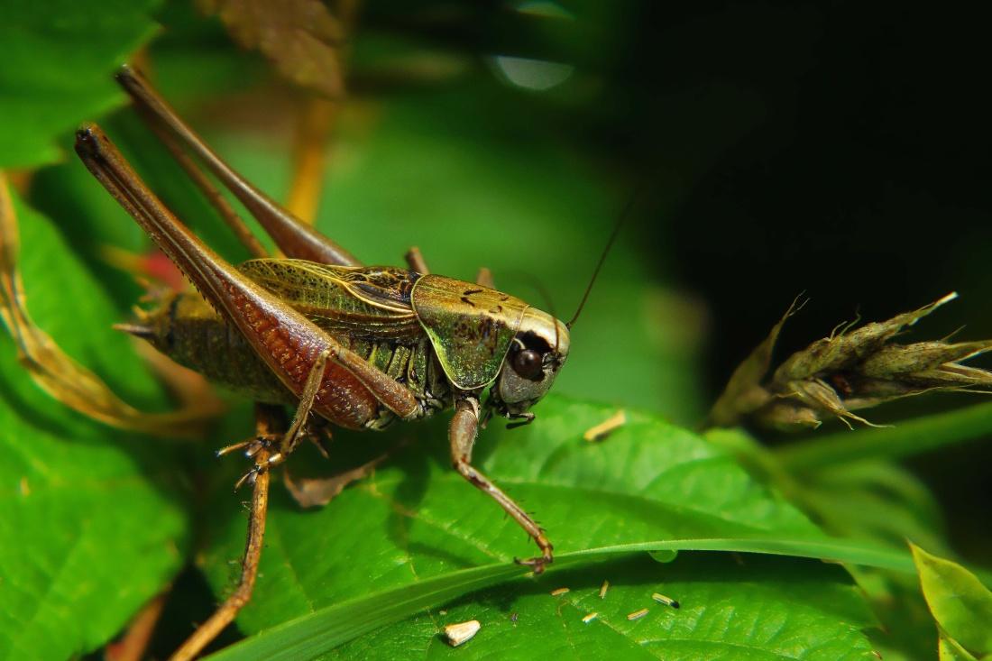 φύση, έντομο, ακρίδα, ζώο, άγρια ζώα, ασπόνδυλα, αρθρόποδα