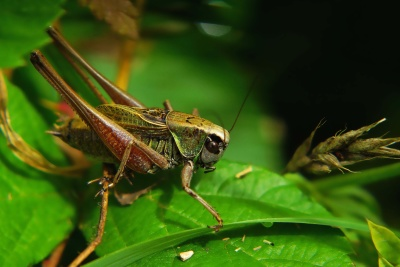 nature, insect, grasshopper, animal, wildlife, invertebrate, arthropod