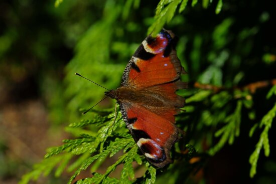 butterfly, insect, nature, wildlife, invertebrate, animal, biology, wild, summer, moth