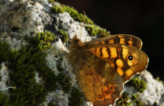 nature, wildlife, invertebrate, animal, butterfly, animal, insect, wings