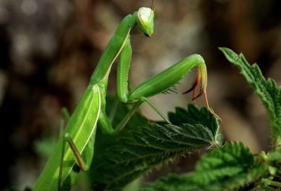 leaf, nature, insect, flora, mantis, arthropod, macro, green