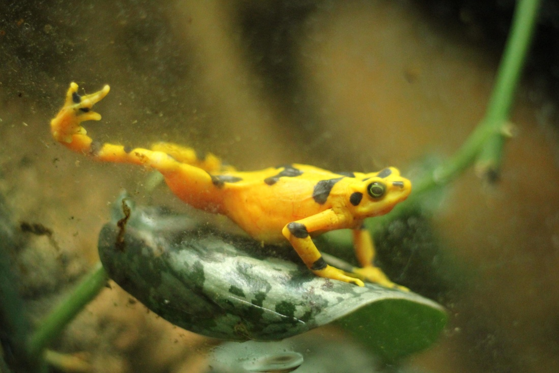 amphibian, underwater, salamander, reptile, biology, wildlife, invertebrate
