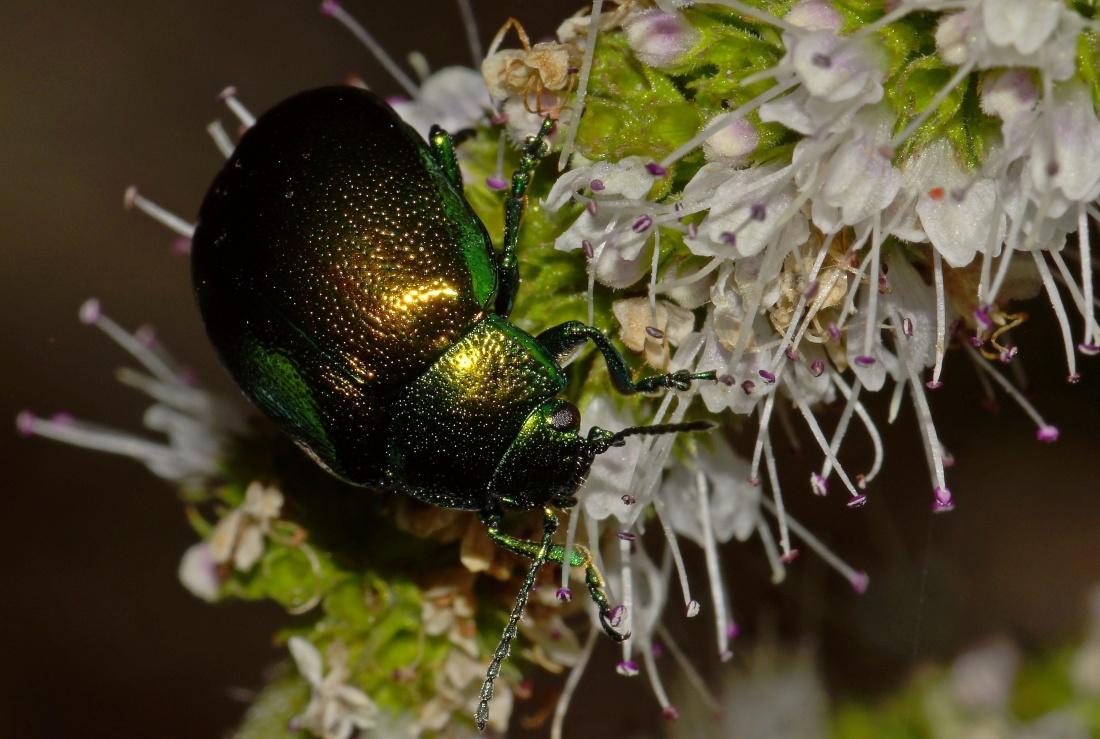 nature, flower, insect, beetle, arthropod, biology, metamorphose, pollen, macro