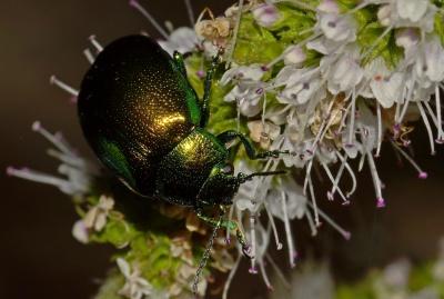 Natur, Blumen, Insekten, Käfer, Gliederfüßer, Biologie, metamorphose, Pollen, Makro