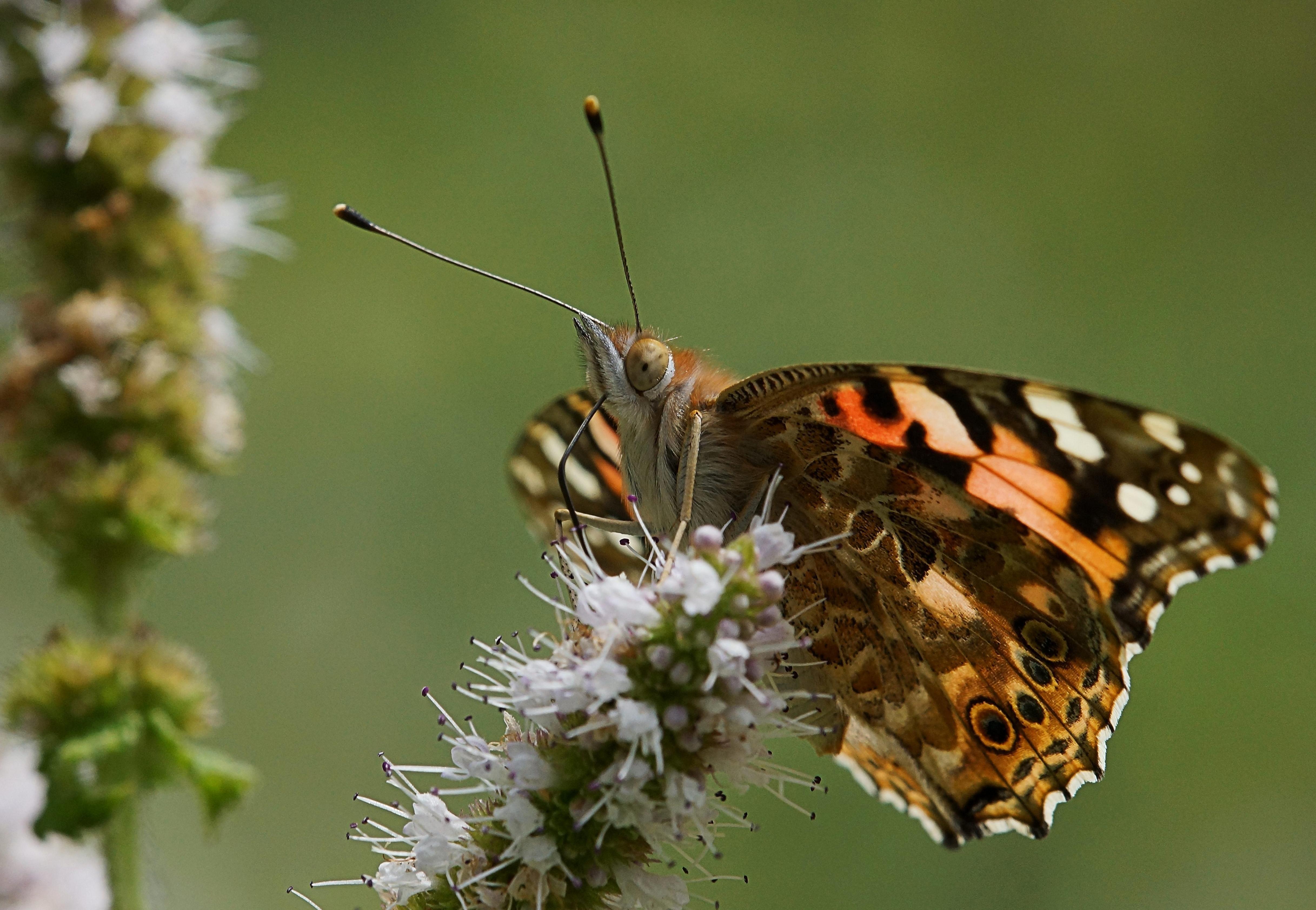 Image libre papillon insecte biologie macro ailes - Image papillon et fleur ...