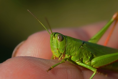 insect, grasshopper, invertebrate, wildlife, nature, locust, animal