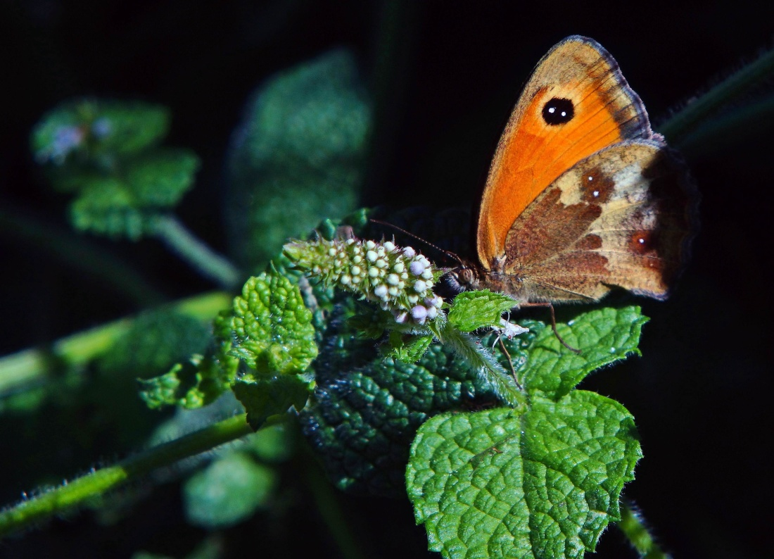 invertebrate, butterfly, insect, brown, animal, wildlife, animal, nature