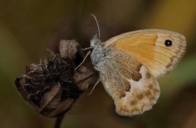 papillon, insectes, invertébrés, ailes, macro, papillon, nature, faune, animal