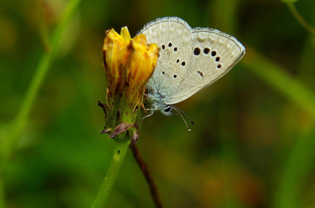 butterfly, nature, insect, dandelion, wing, detil, biology, metamorphose