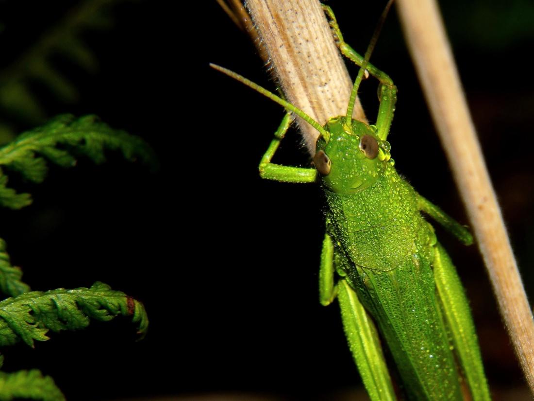grasshopper, insect, invertebrate, leaf, wildlife, nature, arthropod