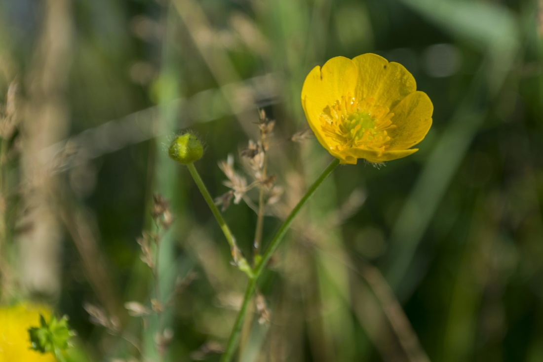 Fiori Gialli Selvatici.Free Picture Nature Flower Summer Grass Yellow Wildflower Petal
