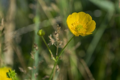 nature, flower, summer, grass, yellow, wildflower, petal