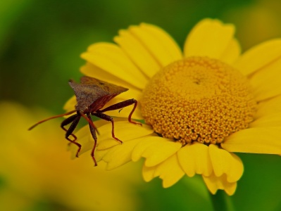 nature, insect, flower, flora, daisy, summer, yellow, sunflower