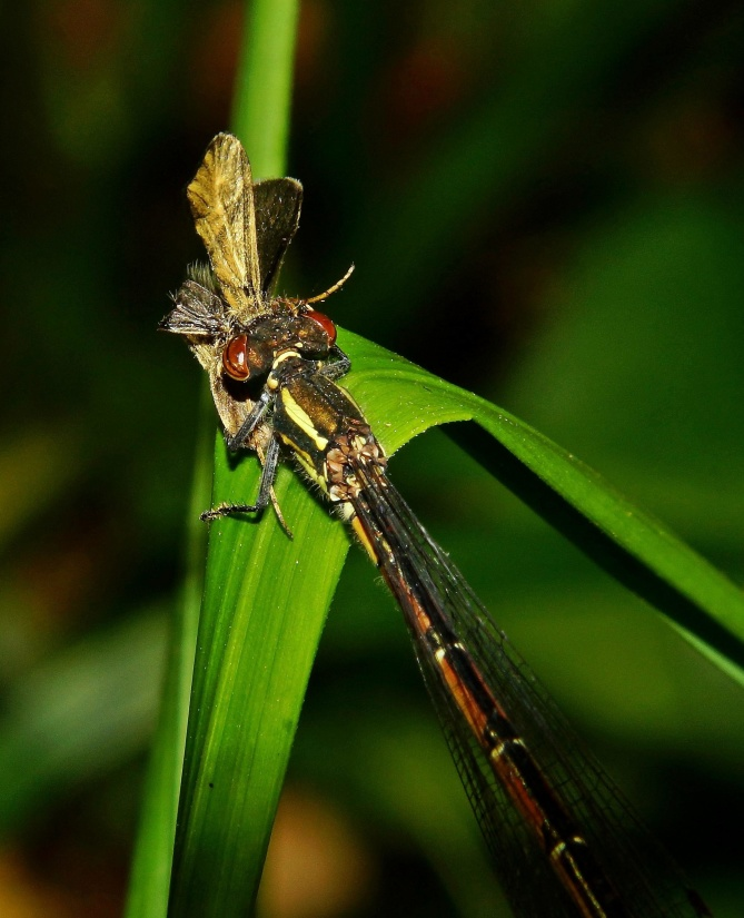 insect, dragonfly, invertebrate, nature, animal, wildlife, entomology