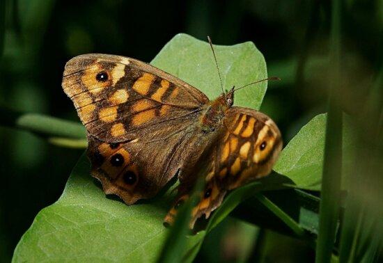 insect, butterfly, nature, wildlife, animal, metamorphose, invertebrate