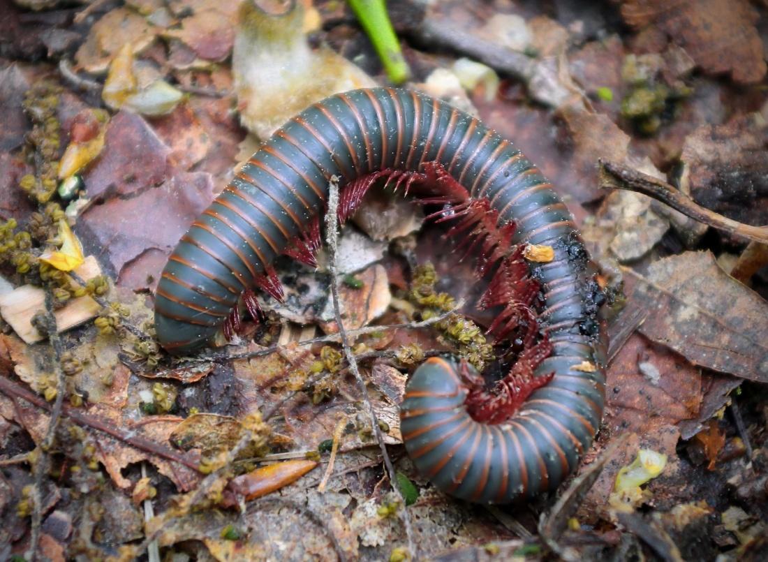 invertebrato, verme, insetto, natura, biologia, fauna selvatica, centopiedi