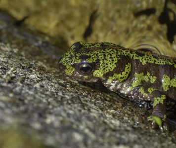 salamander, amphibian, wildlife, reptile, nature, animal, lizard, biology