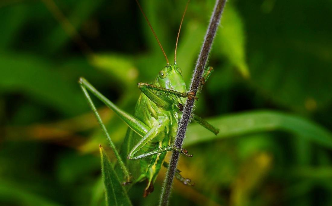 insect, grasshopper, leaf, invertebrate, nature, macro, wildlife