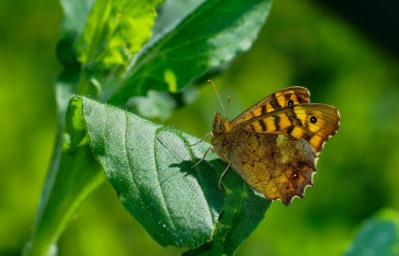 nature, butterfly, insect, leaf, flora, macro, biology