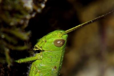 Wirbellosen, Insekt, Tierwelt, Natur, Heuschrecke, Makro, Gliederfüßer
