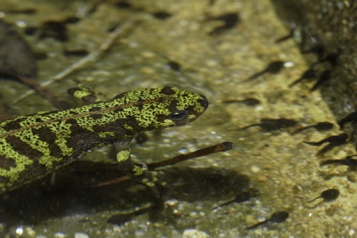reptil, alam, satwa liar, amfibi, hewan, air, bawah air, salamander