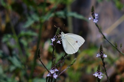butterfly, insect, nature, flower, white, invertebrate, nectar, biology