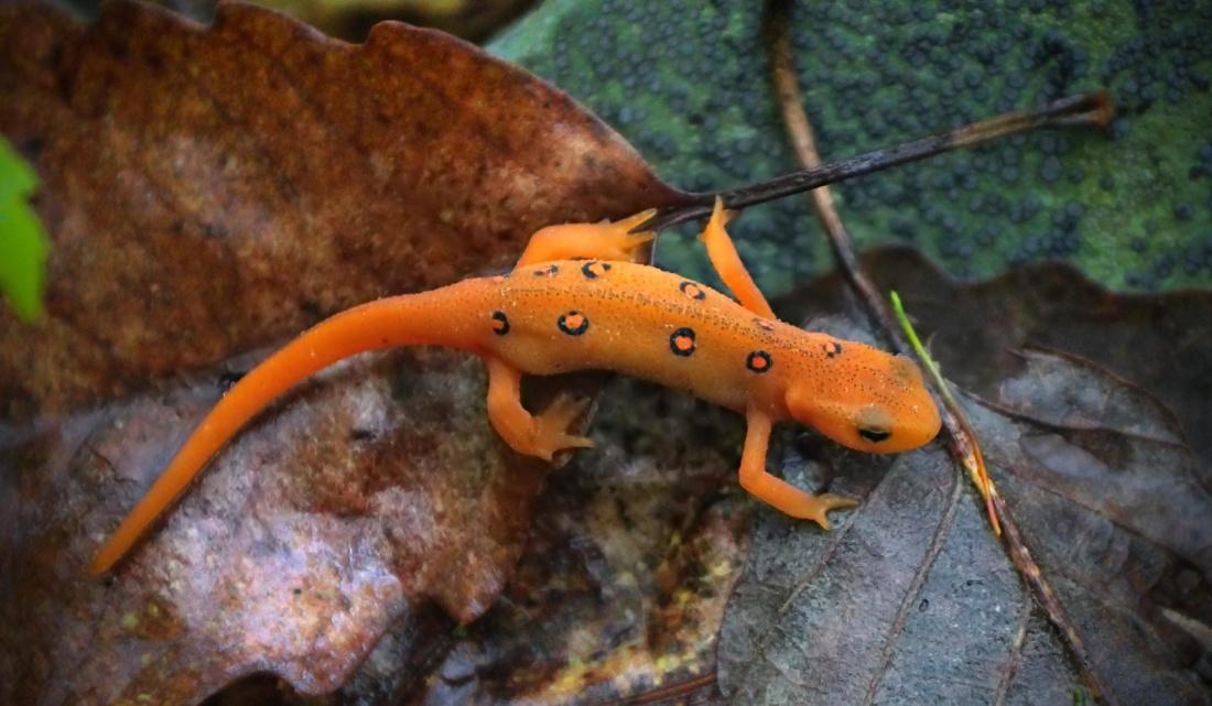 salamander, animal, vertebrate, fauna, colorful, toxic, lizard