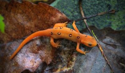Salamander, Tier, Wirbeltier, Fauna, bunt, giftig, Eidechse