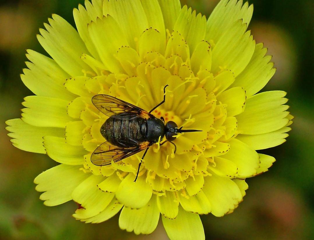 doğa, böcek, çiçek, makro, Eklem bacaklılar, ot, tozlaşma