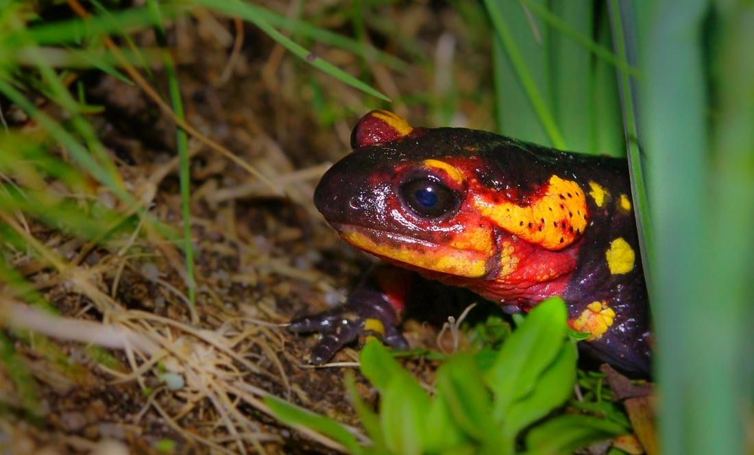 nature, amphibian, salamander, animal, fauna, nature, biology