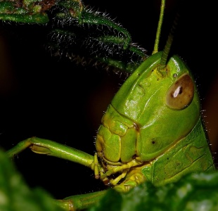 invertebrate, grasshopper, insect, wildlife, mantis, nature